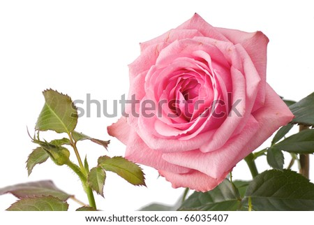 Pink rose on stem with green leaves - stock photo