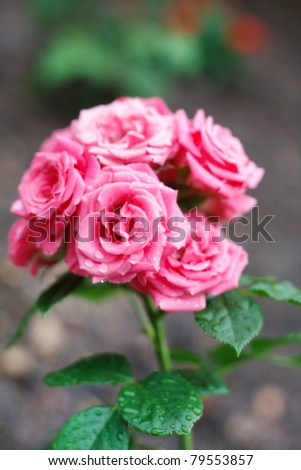 Pink Rose on the Branch in a Garden - stock photo