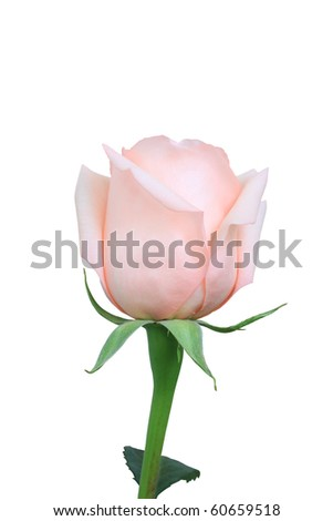 Pink rose on the white background - stock photo