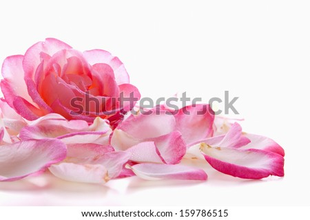 Pink rose petals and rose isolated on white background.   - stock photo
