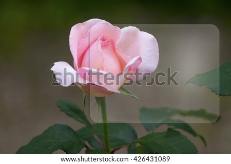 pink rose reflected in the glass of the square - stock photo