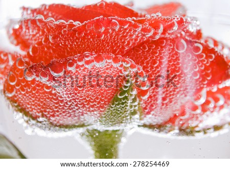 Pink rose reflected in water drops on white background. - stock photo