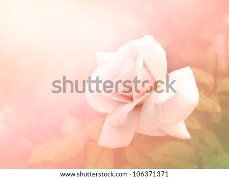 Pink rose romantic background - stock photo
