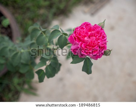 pink rose tree with its branch - stock photo