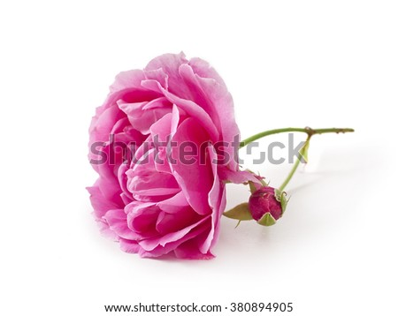 Pink rose with a bud isolated on white background  - stock photo