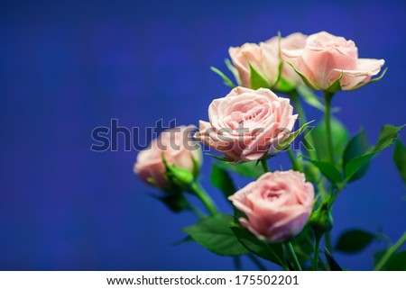 Pink rose with blue circle blurry background - stock photo