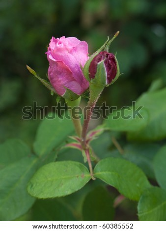 Pink Rose with buds - stock photo