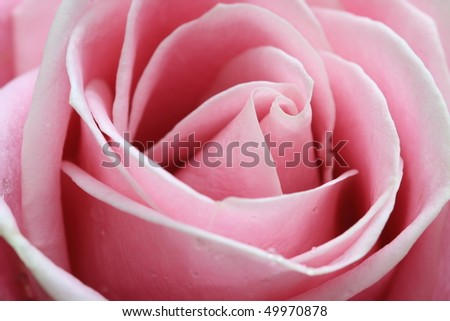 Pink rose with close up - stock photo