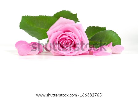 pink rose with green leaves and petals on white background - stock photo