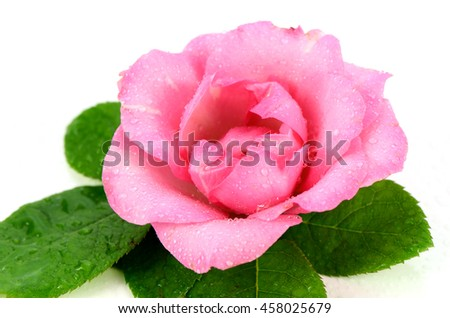 Pink rose with green leaves on white background. - stock photo