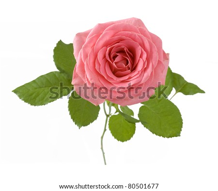 Pink rose with leaves and stem isolated on white