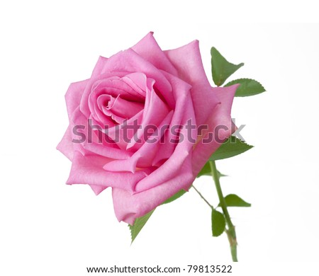 Pink rose with leaves isolated on white