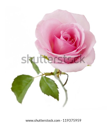 Pink rose with leaves isolated on white background - stock photo