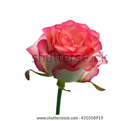 Pink rose with leaves on white. Selective focus. - stock photo
