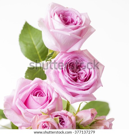 Pink Roses - stock photo