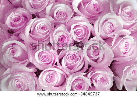 Pink roses as a background - stock photo