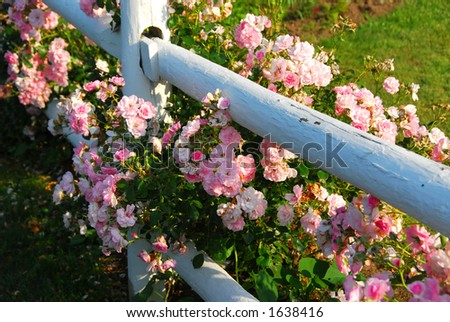 Pink roses at the white painted country house fence - stock photo