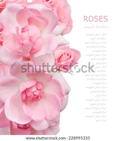 Pink roses background isolated on white with sample text  - stock photo