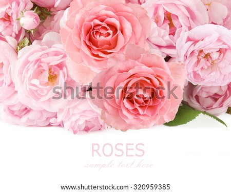 Pink roses background isolated on white with sample text