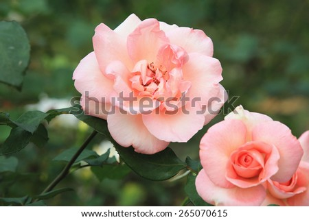 Pink roses,beautiful roses blooming in the garden in spring,closeup  - stock photo