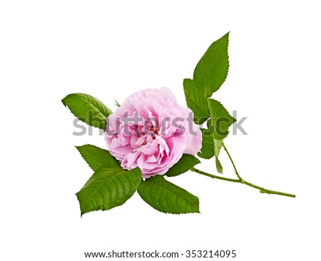 pink roses bouquet on a white background - stock photo