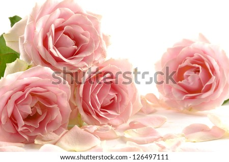 Pink roses bunch isolated on white background