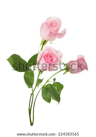 pink roses bunch isolated on white background  - stock photo