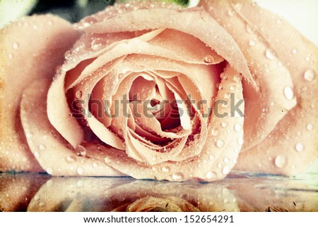 Pink roses covered with dew on vintage background  - stock photo