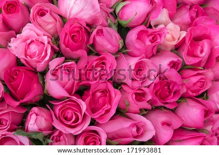 Pink roses for love background - stock photo