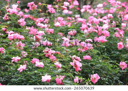 Pink roses garden in spring,many beautiful roses blooming in the garden  - stock photo