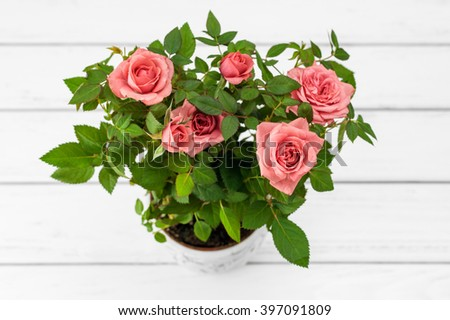 Pink roses in a flowerpot on white wooden background.