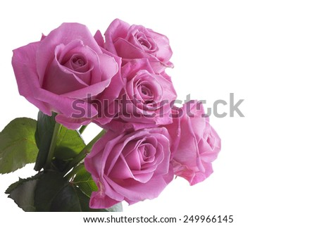 Pink roses isolated on a white background - stock photo