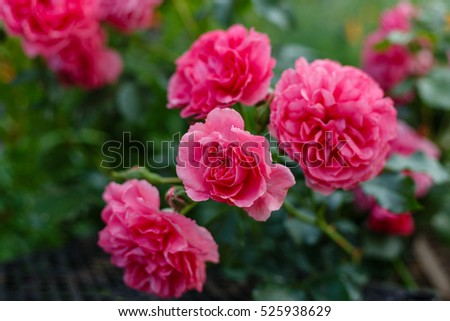 Pink roses on a bush in a garden. Russia.