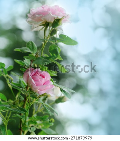 pink roses on blue background - stock photo