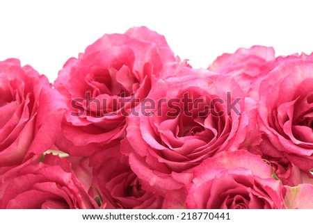 Pink roses on white background  - stock photo