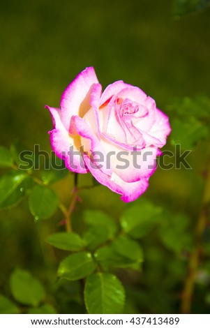 pink roses ,spring flowers,flowers garden,green,beautiful roses,roses garden,roses outside,garden flowers,wonderful roses,amazing nature,natural flowers,natural roses,pink petals,floral,lovely flowers - stock photo