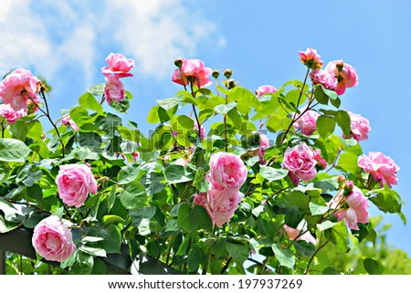 pink roses under sun with blue sky - stock photo