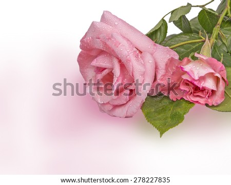 pink roses water drops, green leaves, isolated - stock photo