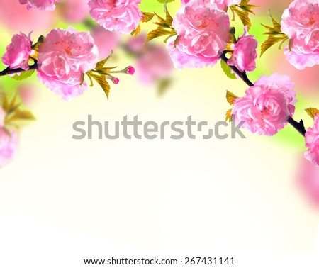 Pink sakura blossom, spring background - stock photo