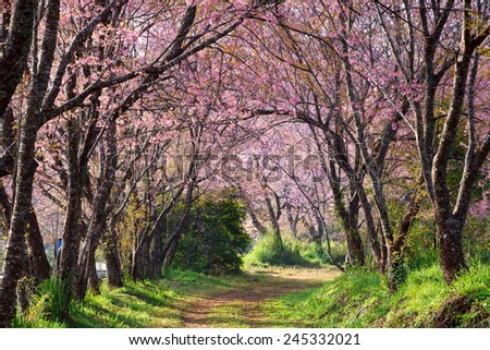 pink sakura blossoms on dirt road in thailand