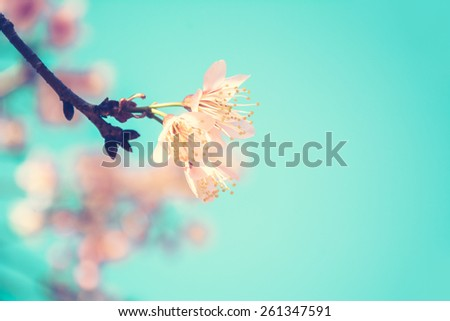 Pink Sakura flower blooming on blue sky background - vintage tone with soft focus - stock photo