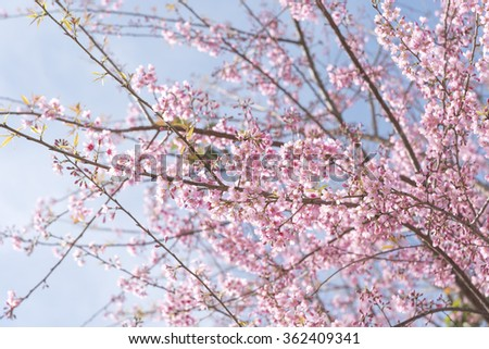 Pink sakura flower, Cherry blossom ,Himalayan cherry blossom, soft focus  - stock photo