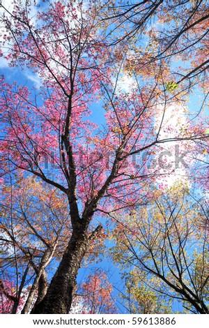 Pink sakura flowers - stock photo
