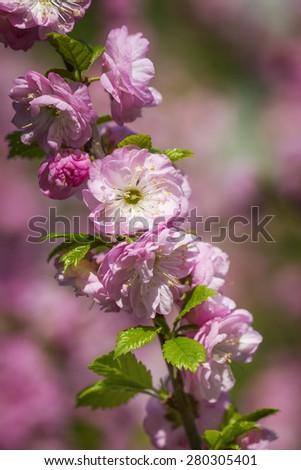 Pink sakura in blossom in April - stock photo