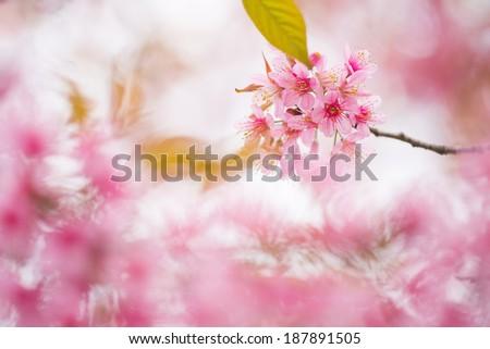 Pink sakura in Chiang Mai, Thailand  - stock photo