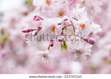 Pink Sakura is Beautiful pink cherry blossom flower at full bloom in Japan - stock photo