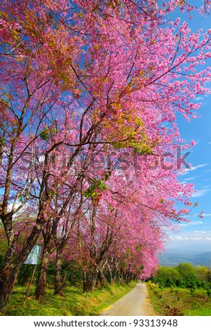 Pink sakura on road in thailand