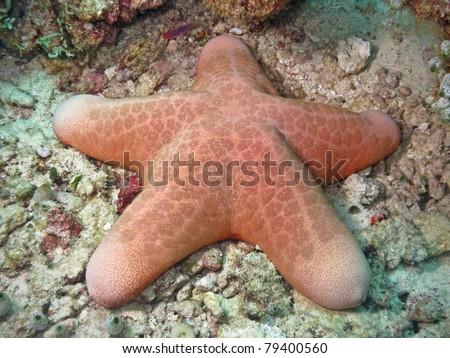 Pink Sea Star from Maldives - stock photo