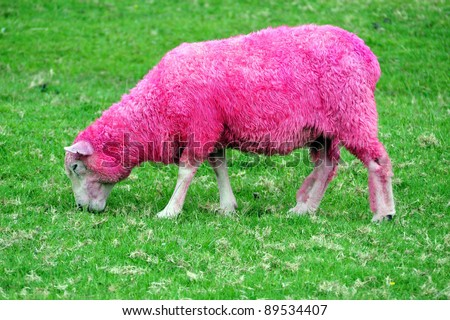 Pink sheep are grazing in a green field in New Zealand - stock photo