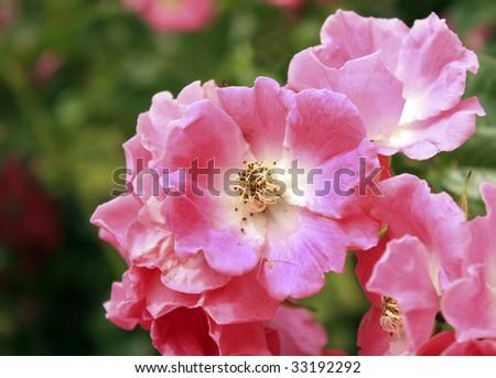 pink shrub rose, rosy cushion - stock photo